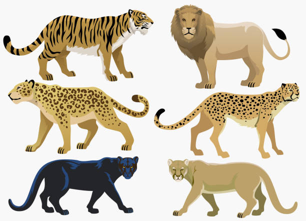 big cats bundle set vector of big cats bundle set jaguar stock illustrations