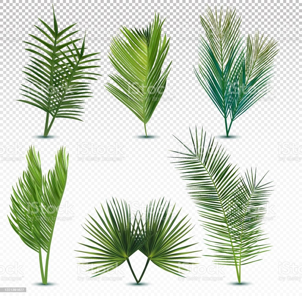 Big Collection Tropical Exotic Palm Leaf Different Tropical Palm Leaves On Transparent Background Summer Leaf Icon Set Vector Illustration Stock Illustration Download Image Now Istock Download transparent tropical leaves png for free on pngkey.com. big collection tropical exotic palm leaf different tropical palm leaves on transparent background summer leaf icon set vector illustration stock illustration download image now istock