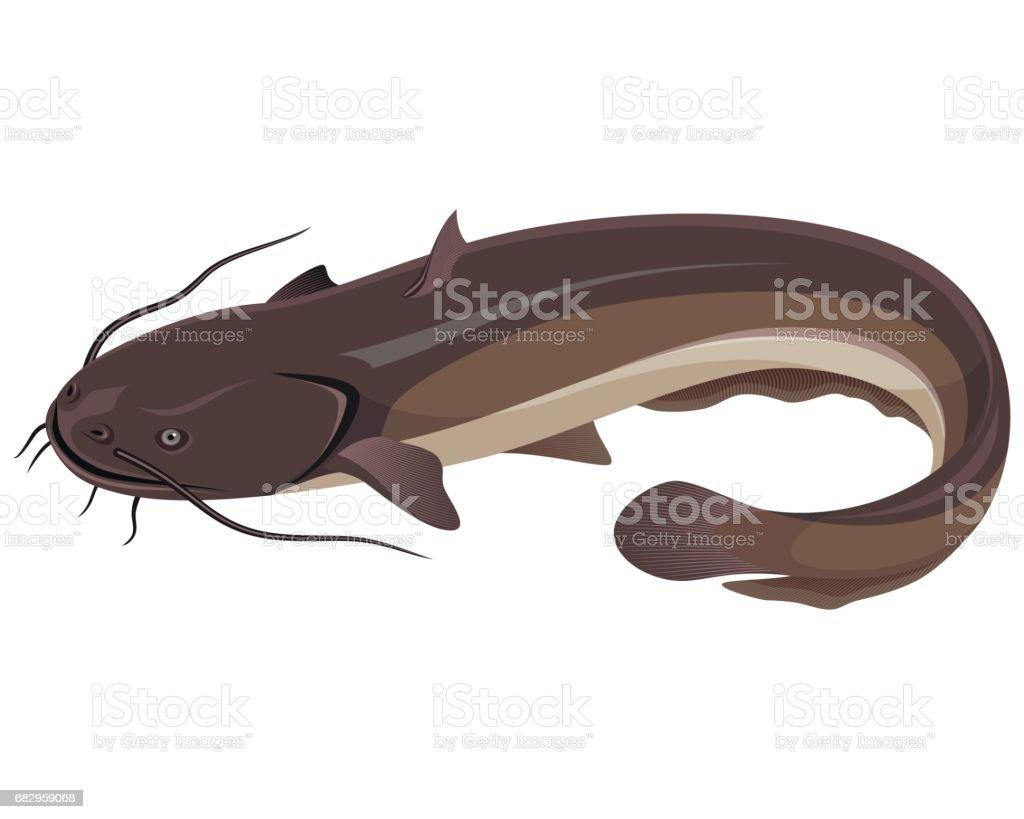 Big freshwater catfish vector art illustration
