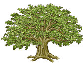 A large oak tree, hand drawn then turned into a vector.