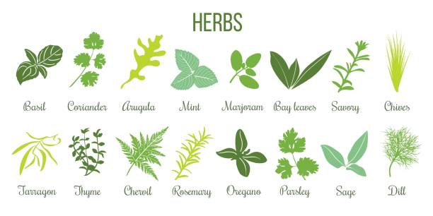 Big icon set of flat culinary herbs. sage, thyme, rosemary, basil Big icon set of popular culinary herbs. Flat style. Basil, coriander, mint, rosemary, sage, basil, thyme, parsley etc. For cooking, cosmetics, store, health care, tag label, food design basil stock illustrations