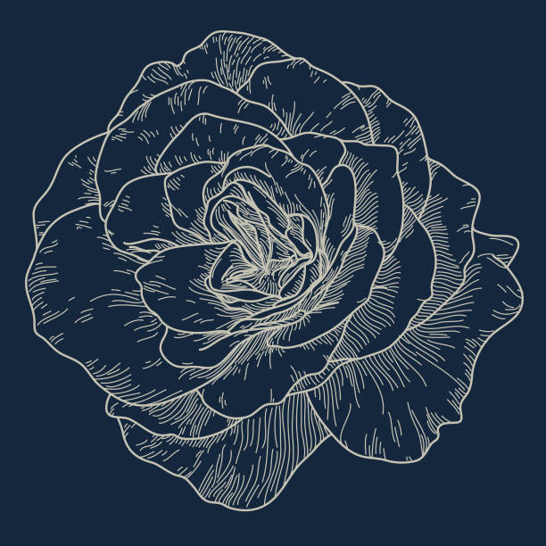 Big Open Cabbage Rose vector art illustration