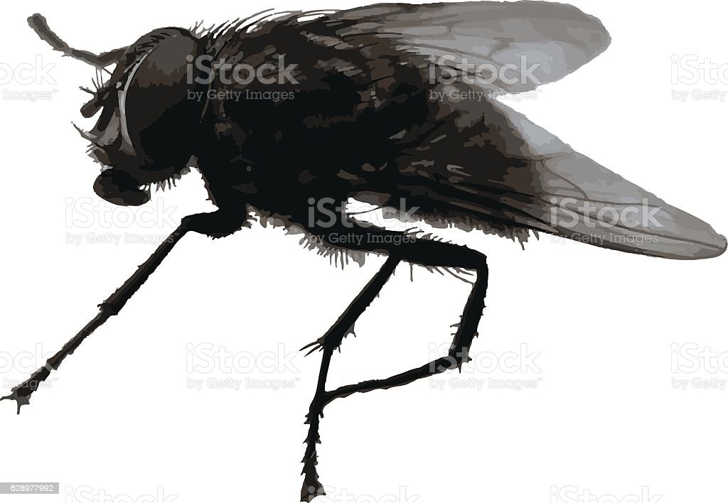 Big realistic housefly isolated vector vector art illustration