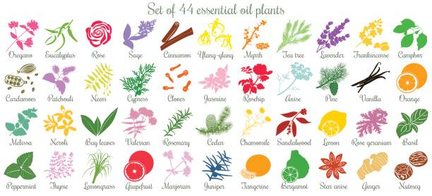 Big set of 44 essential oil plants. flat style, colored Big vector set of 44 flat style essential oil plants. Ylang-ylang, eucalyptus, jasmine, rose, cedar, lavenda, sandalwood, patchouli etc. For cosmetics, spa health care aromatherapy homeopathy Ayurveda lavender plant stock illustrations