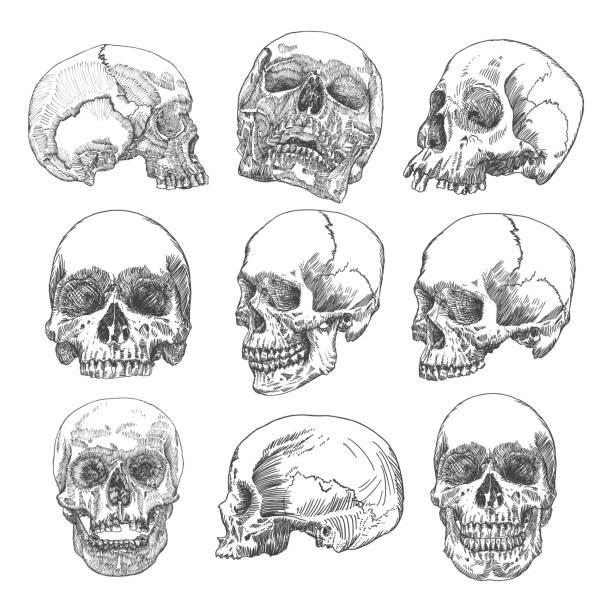 illustrations, cliparts, dessins animés et icônes de grand ensemble de crânes anatomiques dans des directions différentes et conditions, altérées et de qualité musée, medical étudient illustration détaillée dessinés à la main. musique rock t-shirt imprime. vecteur de l'art. - museum