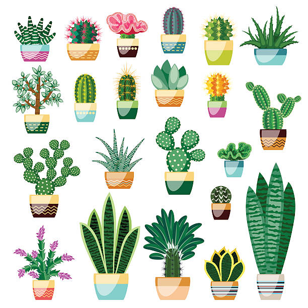 Big set of cactuses and succulents in pots. Big set of cactuses and succulents in pots. Cactuses and succulents isolated on white background. Indoor plants in a flat style. Vector illustration. potted plant stock illustrations