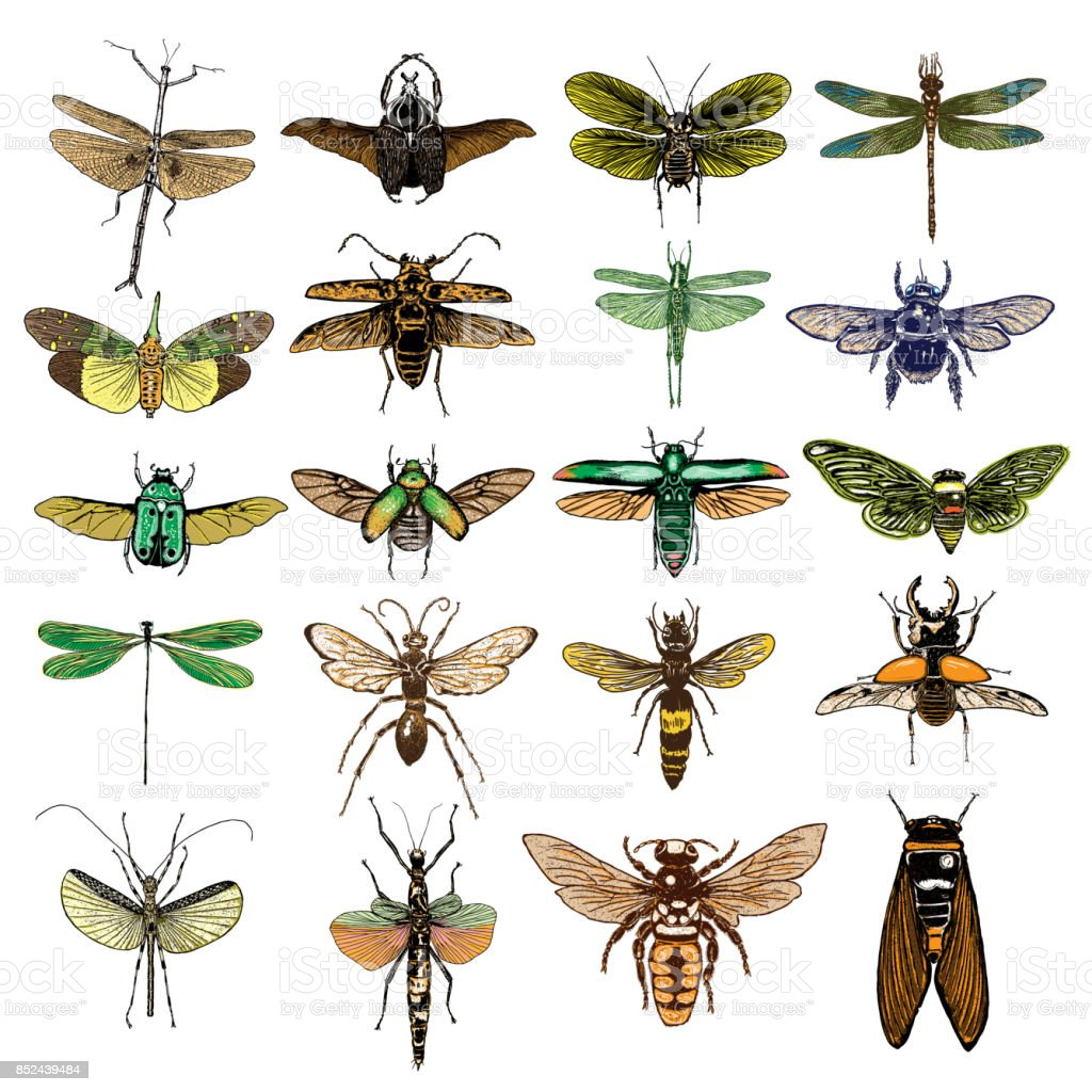 Big set of color insects, bugs, beetles, fly, bees, fleas. Many species in coloured vintage old hand drawn stippling and hatching, shading style. Engraved stipple woodcut. Vector. vector art illustration