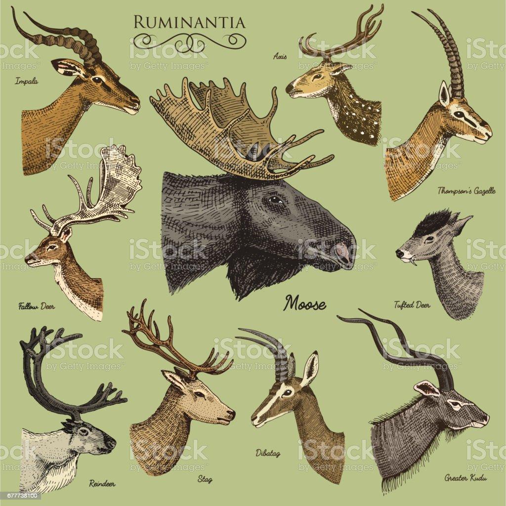 Big Set Of Horn Antlers Animals Moose Or Elk With Impala Gazelle And