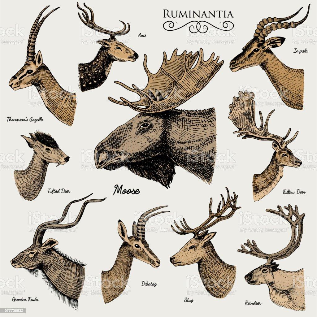 Big Set Of Horn Antlers Animals Moose Or Elk With Impala Gazelle And ...