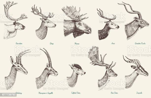 Big set of horn antlers animals moose or elk with impala gazelle and vector id677739792?b=1&k=6&m=677739792&s=612x612&h=bcncoi tymvx6kbl1psdqgdlvmveje c3gtceswcav8=