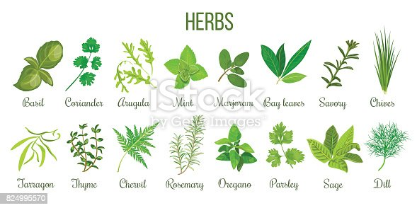 Big icon set of popular culinary herbs. realistic style. Basil, coriander, mint, rosemary, basil, sage, thyme, parsley etc. For cosmetics, store, health care, tag label, food design