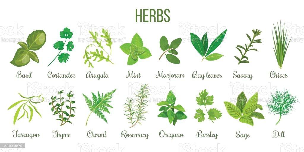 Conjunto grande de hierbas culinarias realista. Salvia, tomillo, Romero, albahaca - ilustración de arte vectorial