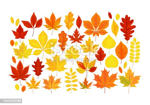 Vector illustration, big set of bright realistic autumn leaves isolated on a white background