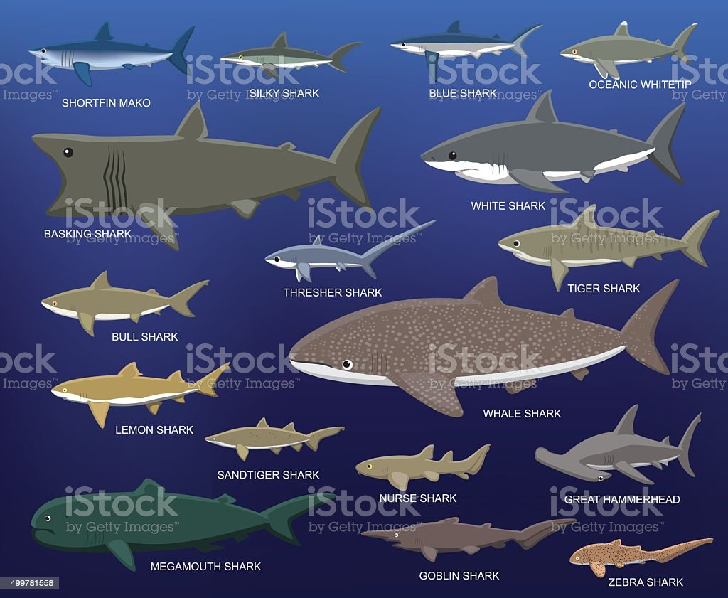 Big Shark Size Comparison Cartoon Vector Illustration Animal Cartoon EPS10 File Format 2015 stock vector