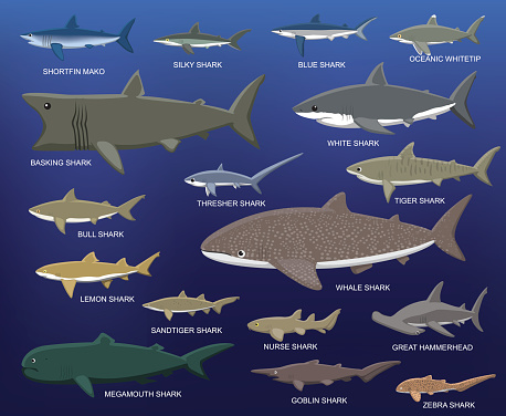 Big Shark Size Comparison Cartoon Vector Illustration Stock Illustration - Download Image Now