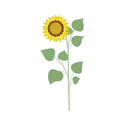 Big sunflower flower, autumn harvest. Illustration in flat style, isolated