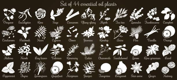 Big vector set of 44 flat style essential oil plants. White Silhouettes on black Big vector set of 44 flat style essential oil plants. White Silhouettes on black. Eucalyptus, jasmine, rose, cedar, lavenda, sandalwood etc. For cosmetics, spa, health care, aromatherapy Ayurveda lavender plant stock illustrations