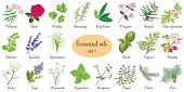 Big vector set of popular essential oil plants. Rose, Geranium, lavender, mint, melissa, Chamomile, cedar, pine, juniper, rosehip etc. For cosmetics store spa health care aromatherapy homeopathy