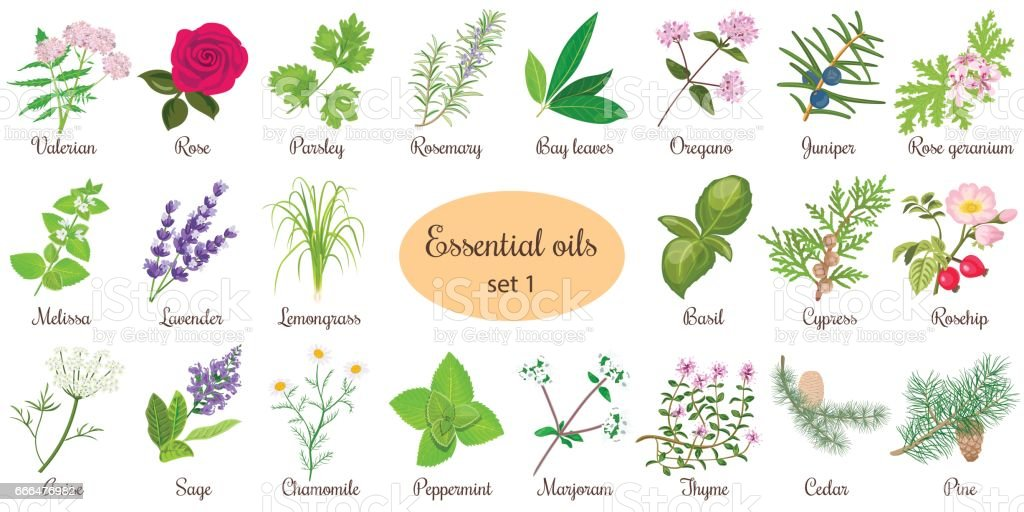 Big vector set of popular essential oil plants. Rose, Geranium, lavender, mint, melissa, Chamomile, cedar, pine, juniper, rosehip etc. For cosmetics store spa health care aromatherapy homeopathy vector art illustration