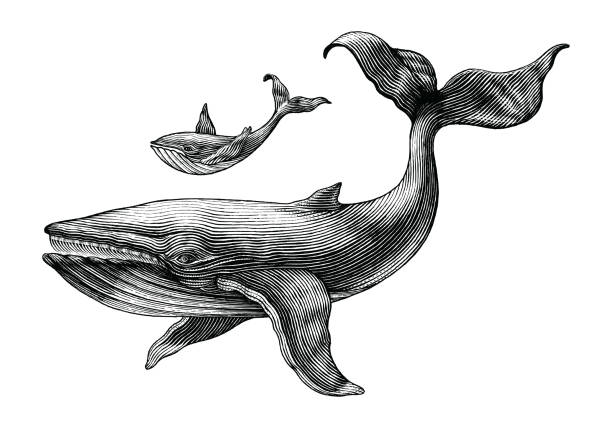 Big whale and little whale hand drawing vintage engraving illustration Big whale and little whale hand drawing vintage engraving illustration etching stock illustrations