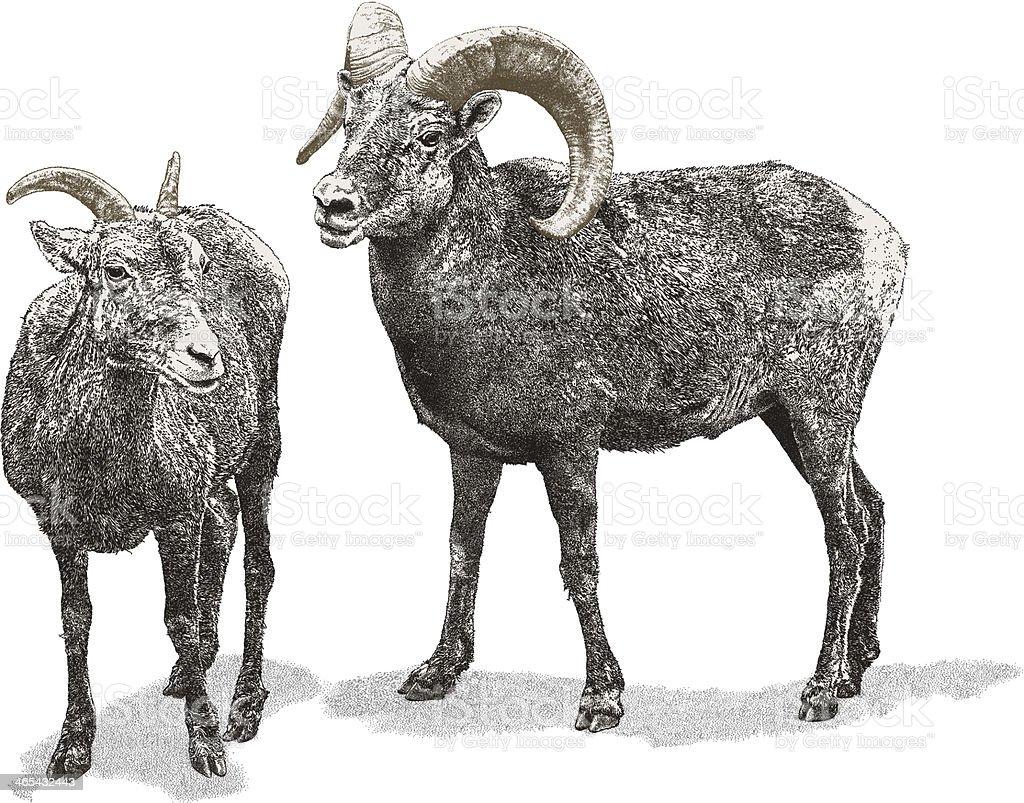 Bighorn Sheep vector art illustration