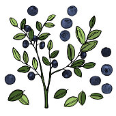 istock Bilberry, huckleberry.  Vector sketch illustration 1227391385