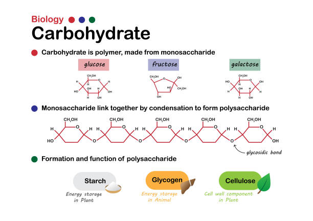 Biology diagram show structure and formation of carbohydrate, made from sugar, monosaccharide and function of starch, glycogen and cellulose. Biology diagram show structure and formation of carbohydrate, made from sugar, monosaccharide and function of starch, glycogen and cellulose. carbohydrate biological molecule stock illustrations