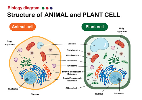 Biology diagram show structure of animal and plant cell