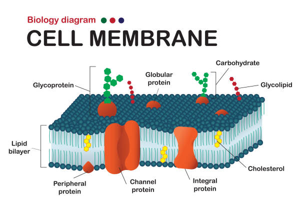 Biology diagram show structure of cell membrane (or plasma membrane) Biology diagram show structure of cell membrane (or plasma membrane) carbohydrate biological molecule stock illustrations