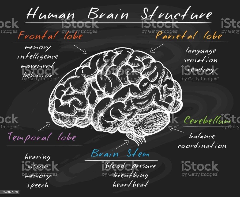 Biology Human Brain Structure On Chalkboard Stock ...