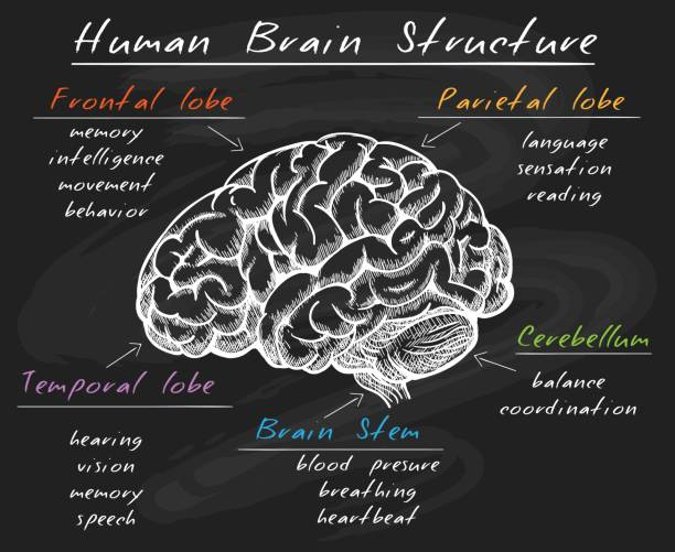 Biology human brain structure on chalkboard Cerebrum diagram. Biology human head brain structure, cerebral sections on chalk board vector illustration parietal lobe stock illustrations