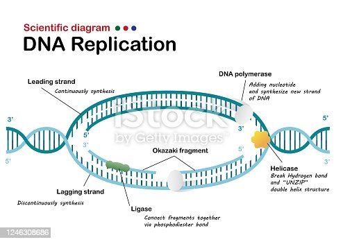 istock Biology info graphic show DNA replication in living organism 1246308686