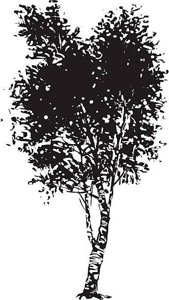 Birch tree clip art vector images illustrations istock
