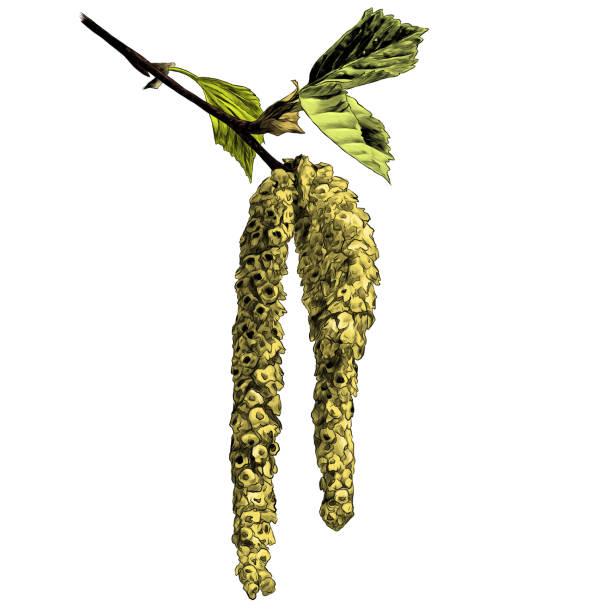 birch twig with flowering earring – artystyczna grafika wektorowa