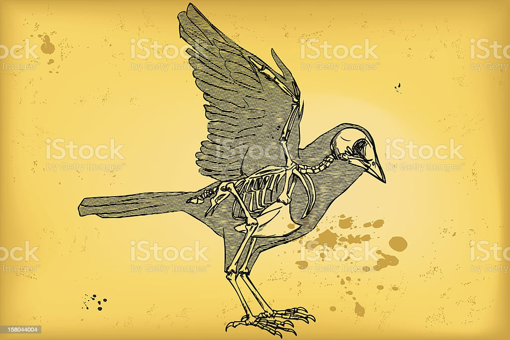 Bird anatomy royalty-free stock vector art