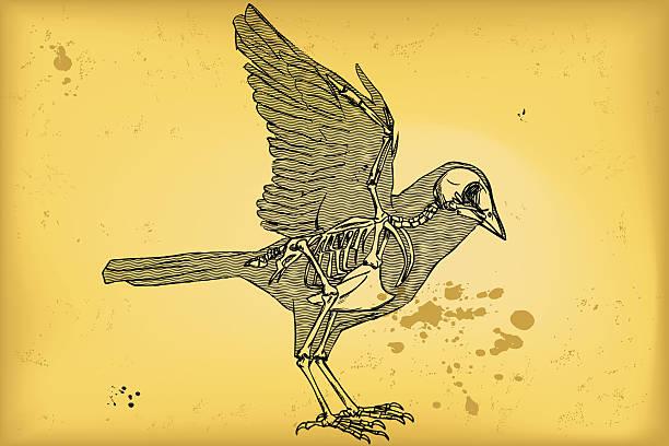 bird anatomy - animal skeleton stock illustrations