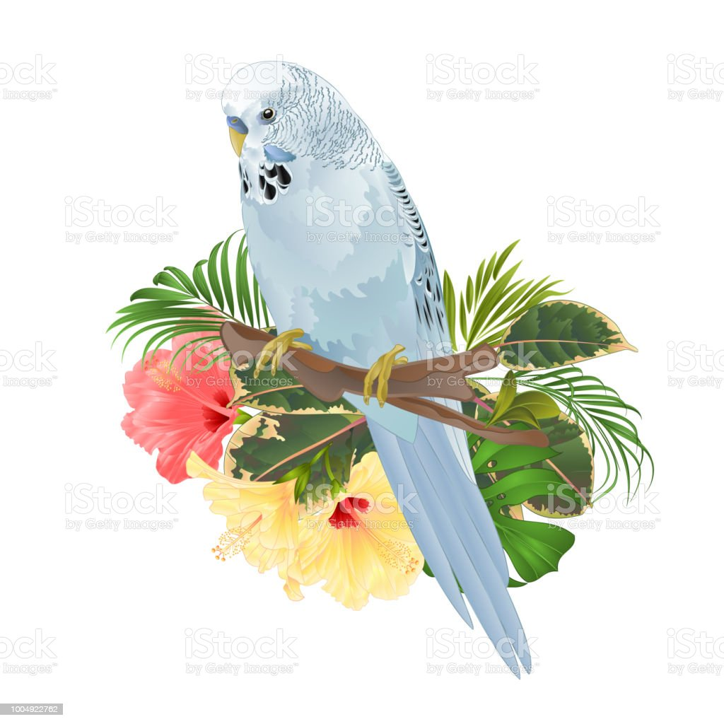Bird Budgerigar, home pet ,blue pet parakeet  on a branch bouquet with tropical flowers hibiscus, palm,philodendron on a white background vintage vector illustration editable vector art illustration
