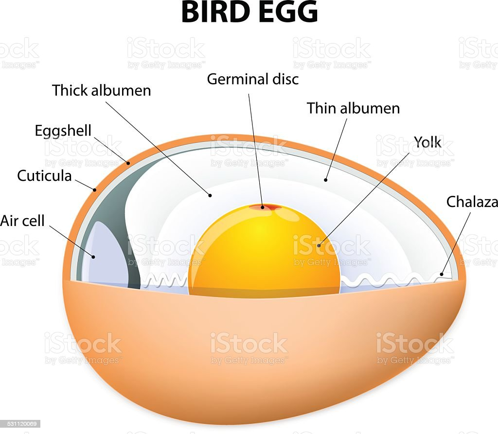 Bird Egg Structure Stock Vector Art & More Images of 2015 531120069 ...