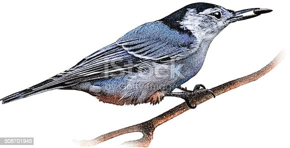White Breasted Nuthatch feeding on seeds in Minnesota.