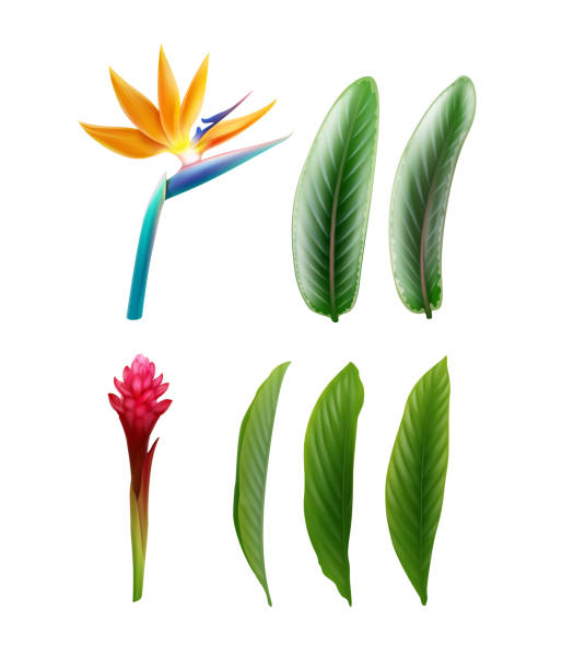 Bird of Paradise and Red Ginger Vector set of tropical plants Bird of Paradise flower or Strelitzia Reginae and Alpinia Purpurata with leaves isolated on white background bird of paradise plant stock illustrations