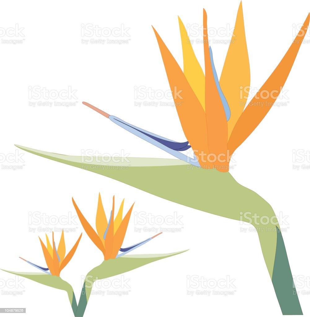 Bird of Paradise Flower on white (Vector) royalty-free stock vector art