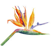 Bird of paradise flower, Strelitzia reginae, crane flower hand drawn botanical illustration isolated on white backdrop, exotic tropical plant for design pattern cosmetic, greeting card, wedding invite