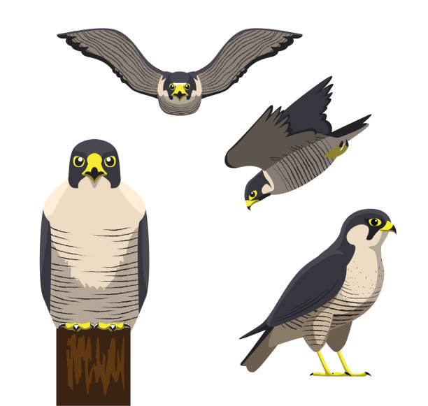 illustrations, cliparts, dessins animés et icônes de oiseau cartoon peregrine vector illustration - falconidés