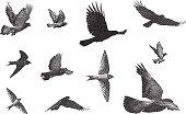 Mezzotint illustrations of various birds.