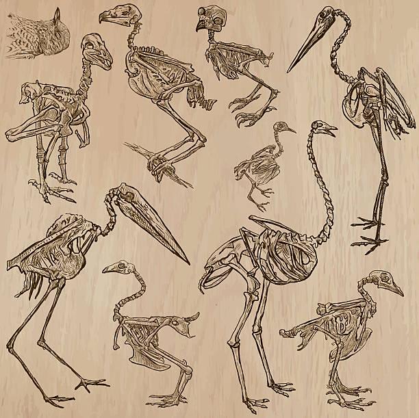 birds bones, skeletons - freehands, vector - animal skeleton stock illustrations