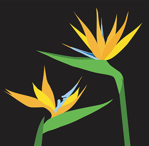 Birds of Paradise Flower Birds of Paradise Flower is a vector illustration. bird of paradise plant stock illustrations