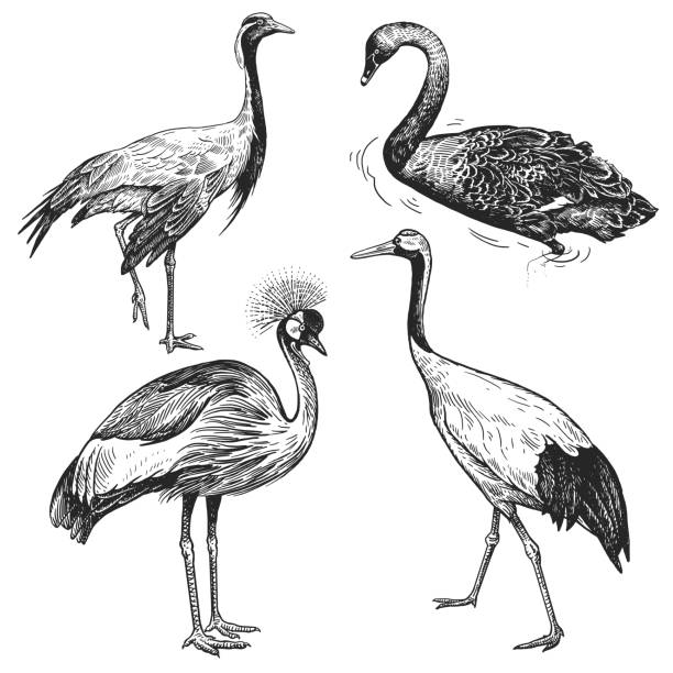 birds set. crane, japanese crane, crowned crane, black swan. black and white graphics. - crane bird stock illustrations