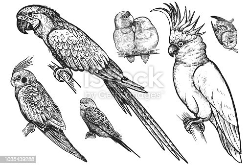 Birds set. Realistic isolated parrots. Hand drawing bird from wild. Black wavy parrots, budgies, Ara, cockatoo, parrots are in love on white background. Vector illustration. Vintage engraving. Nature