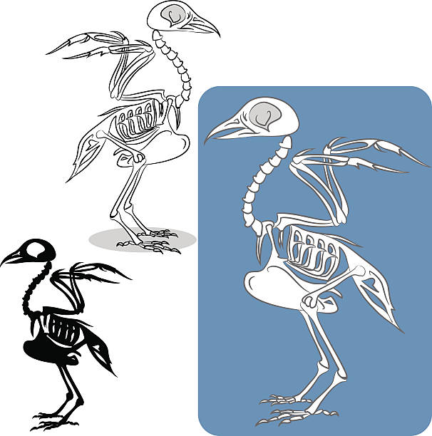 bird's skeleton - animal skeleton stock illustrations