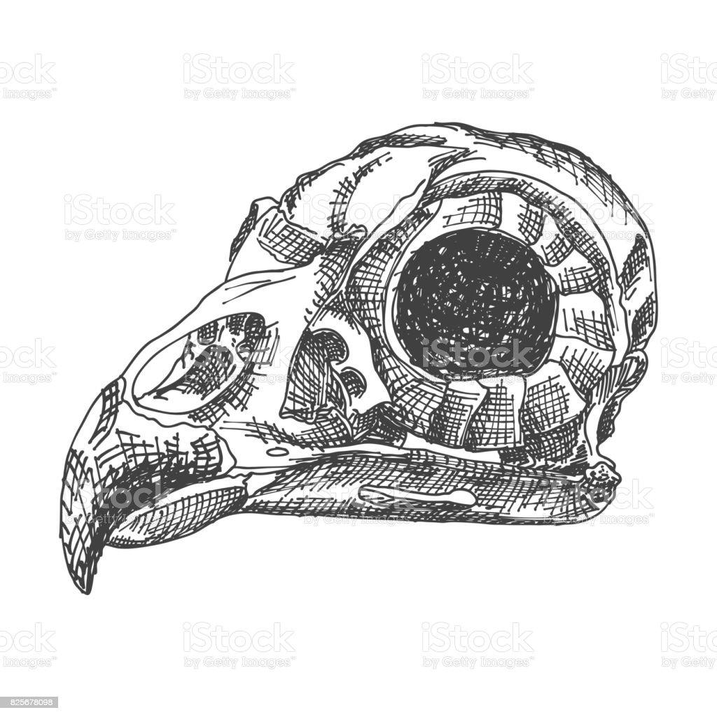Birds Skull Hand Drawing Illustration For Halloween Stock Vector Art ...